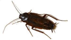 scarafaggio blatta
