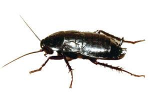 scarafaggi volanti orientale