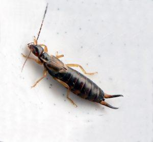 insetti forbici