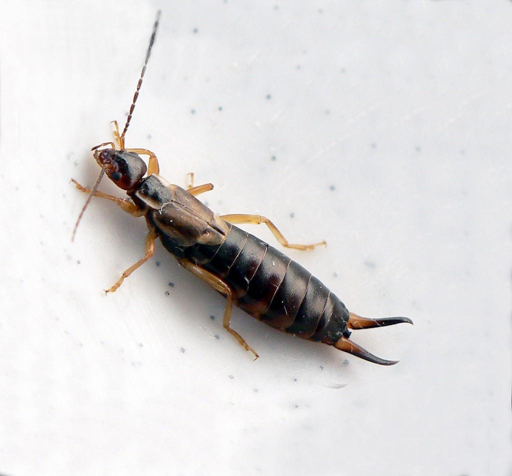 Piccoli Scarafaggi In Cucina tagliaforbici o insetti forbice, cosa sono e come allontanarli!