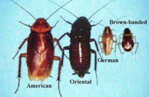 scarafaggi volanti i tipi