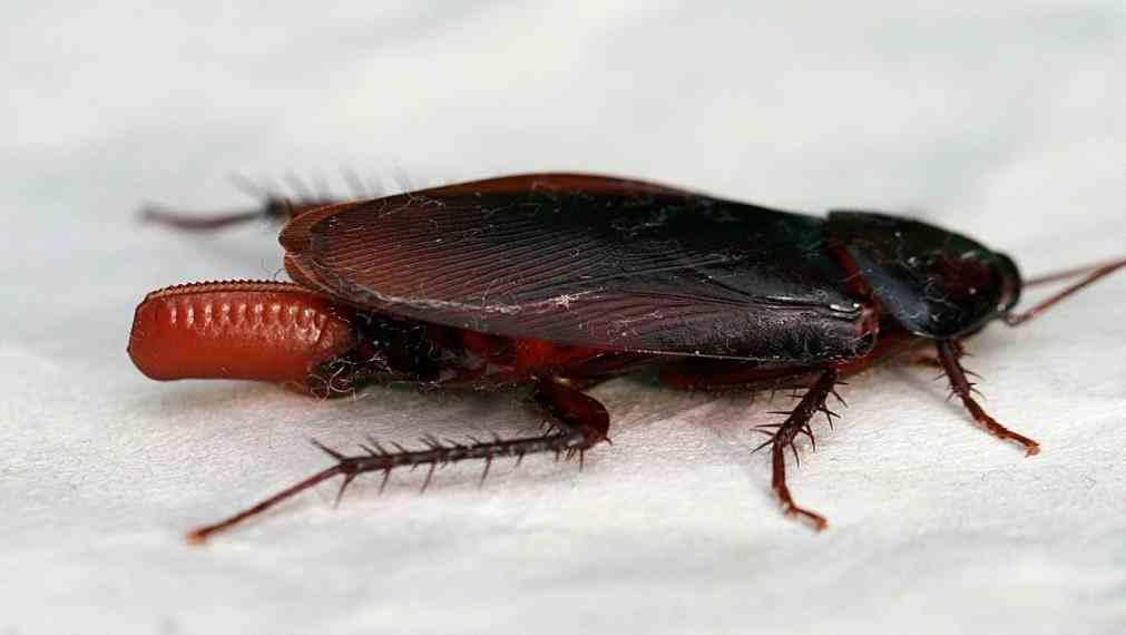 uova di scarafaggi e blatte in casa sei in pericolo
