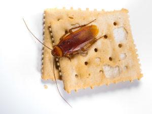 scarafaggi in america