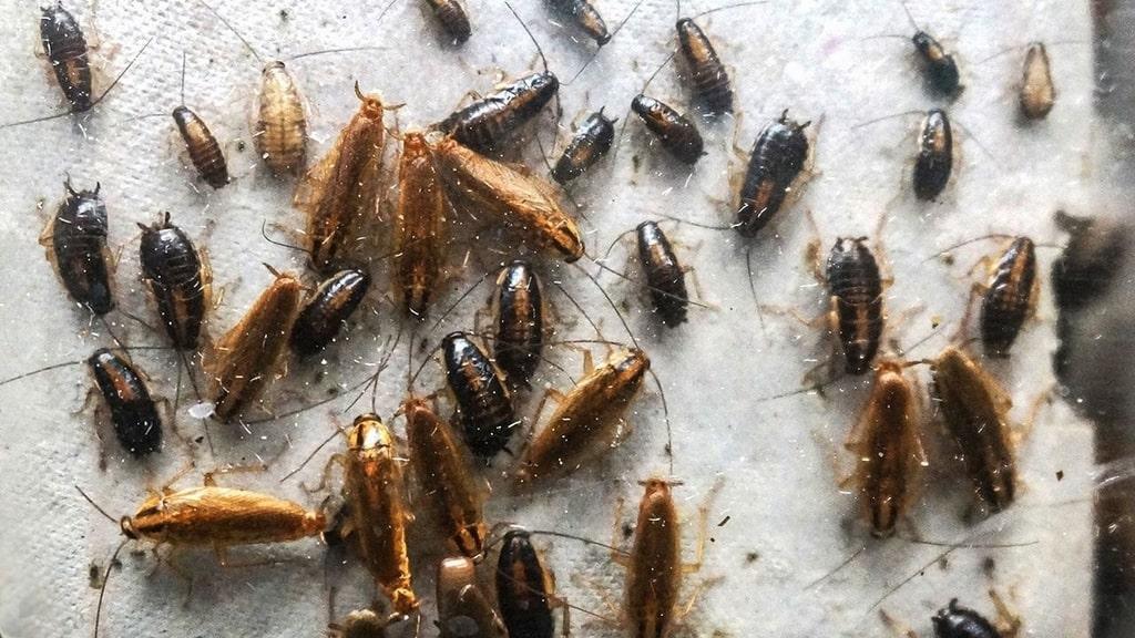 cacca di scarafaggio