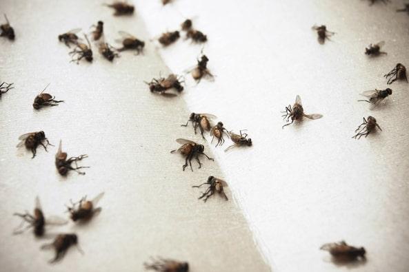 infestazione mosche