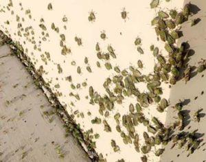 nido di cimici invasione