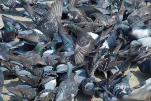 scaccia piccioni