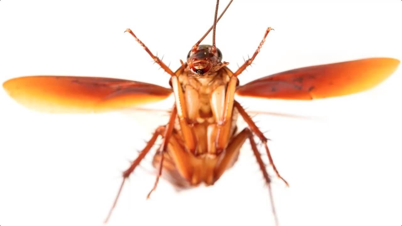 Piccoli Scarafaggi In Cucina scarafaggi volanti e blatte rosse, riconoscerle ed eliminarle!