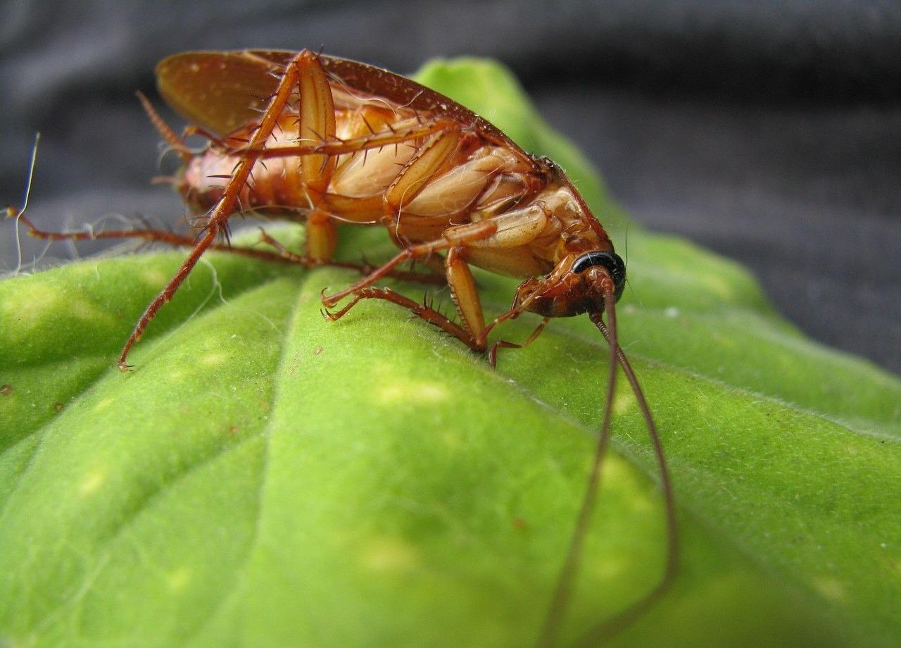 gli scarafaggi mordono