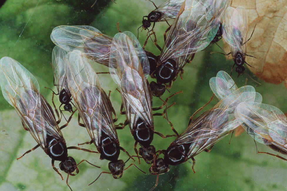 formiche volanti alate