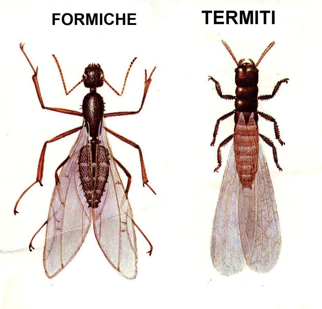 formiche volanti e termiti
