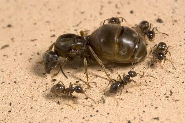 formica regina eliminare